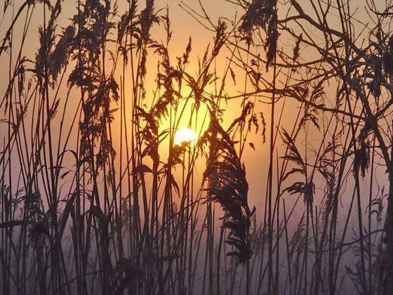 Sonnenuntergang am Schilf
