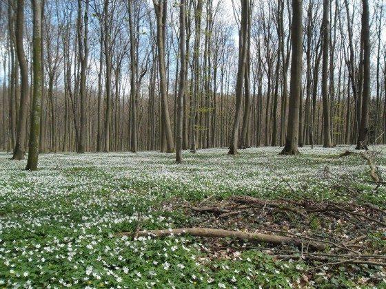 Frühling in den Wäldern auf Rügen Ref. 128664