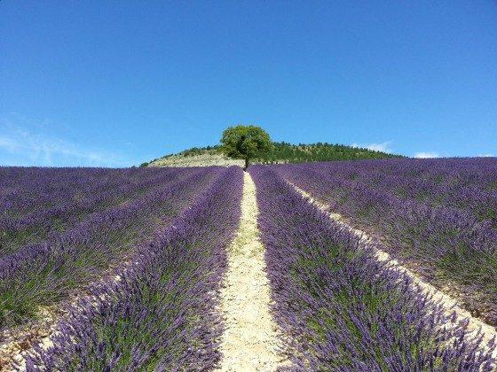 Lavendel in 15 min.
