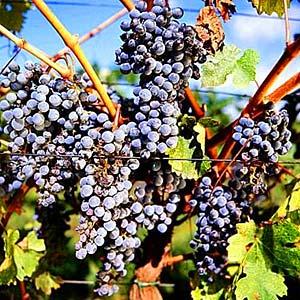 Bild 19 - Ferienwohnung Carmignano - Ref.: 150178-82 - Objekt 150178-82