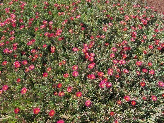 Blumen im Lavagarten