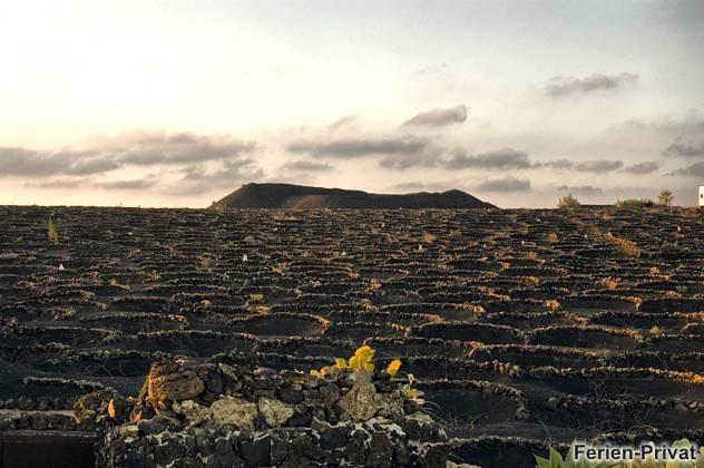 Weinanbau in Vulkanasche
